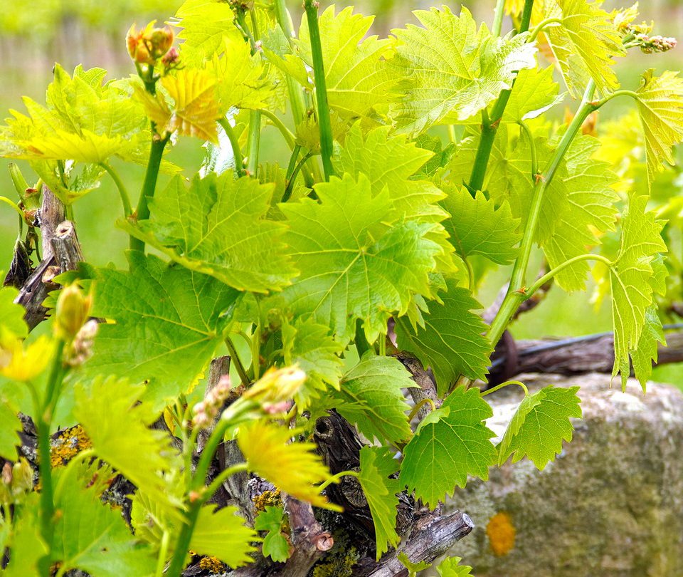vin saint chinian
