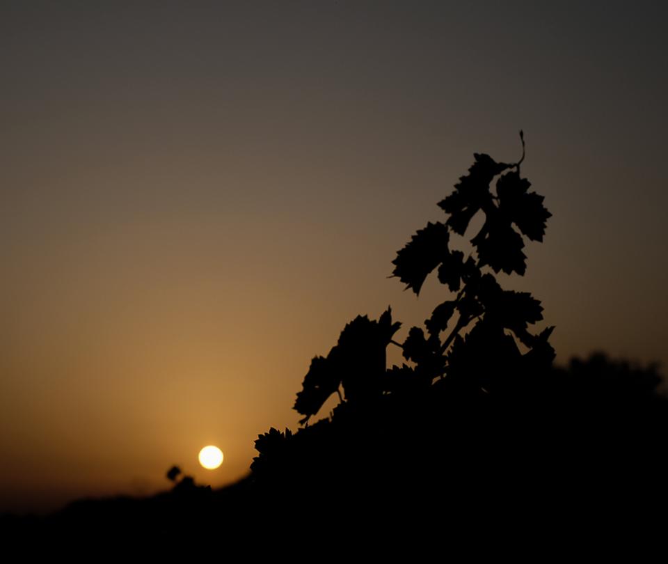 vigne domaine des Mathurins