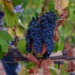 vin bio cazedarnes